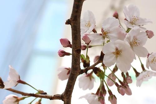 sakura@Yebisu #1, 2008.03.25