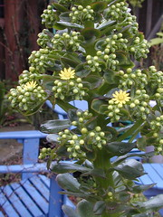 DSCN0003 (serialplantfetishist) Tags: california berkeley homegarden aeoniumarboreum