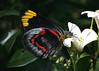 Black Jezebel (Greg Miles) Tags: butterfly australia lepidoptera nsw pieridae murrayapaniculata mtwhite familypieridae deliasnigrina familyrutacae specinsect subfamilypierinae blackjezebel rutacae abcopen:project=upclose