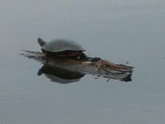 Wetland Learner - Student Pix (Kaw Valley Heritage Alliance) Tags: turtle lawrencekansas wakarusawetlands wetlandlearners