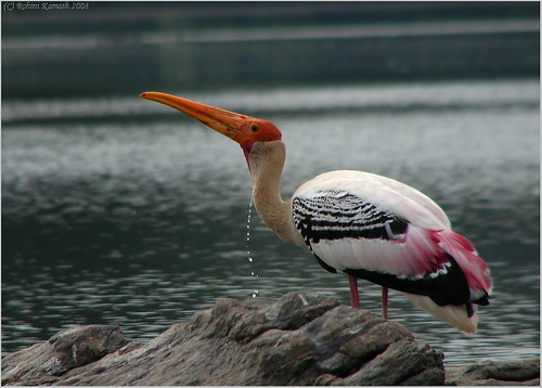 PaintedStork Drinking