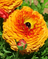 Ranicullus flower fun (moonjazz) Tags: plant nature beauty yellow jaune one spring stem bright blossom grow vivid glad amarillo gelb giallo commercial uno solo single stamen bloom bud agriculture carlsbad geel begin ruffle mywinners infinestyle amirrillo amorelo