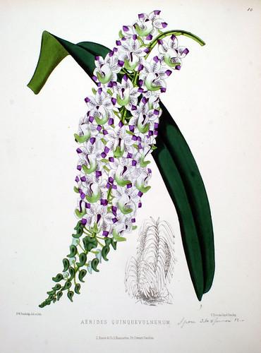Aërides quinquevulnerum