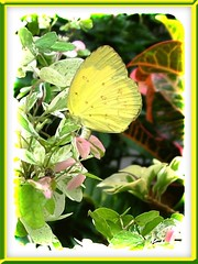 Eurema andersonii andersonii (One-spot Grass Yellow)
