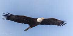 Bald Eagle in flight (Peter Bangayan) Tags: