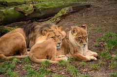 Afrikaanse leeuw - Panthera leo leo - African Lion (MrTDiddy) Tags: afrikaanse leeuw panthera leo african lion bigcat big cat grotekat grote kat male mannelijk nestor caitlin feline mammal zoogdier zooantwerpen zoo antwerpen antwerp