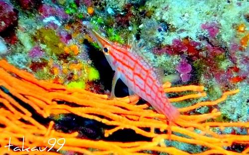 Longnose hawkfish, Similan Thailand