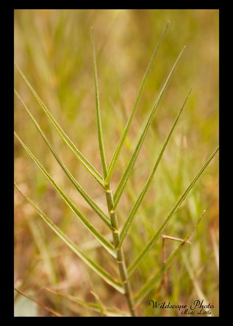 salt grass 3