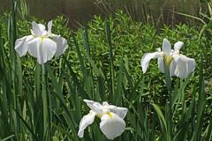 泉の森のハナショウブ(Iris, Izuminomori park, Yamato, Kanagawa, Japan)