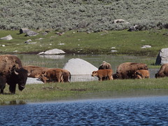 P6020195 Bison (Joanna P Dale) Tags: bison
