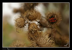 broucek na bodlacku (*janina*) Tags: autumn red flower nature colors animal fauna bug flora october pentax thistle beetle carrion brouk priroda 2007 podzim rijen necrophore barvy k100d challengeyouwinner bodlak tenramikitovsechnojeschvalnedekuji hrobarik