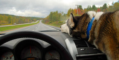 zowie on the lookout (paul+photos=moody) Tags: dog husky vermont zowie siberian drivingbackfromboston