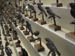 Chior of taxidermied birds
