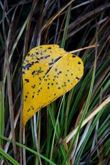 Leaf on grass (karenpeacock) Tags: grass leaf details yosemite yosemitenationalpark closeups yosemitevalley closeupsdetails