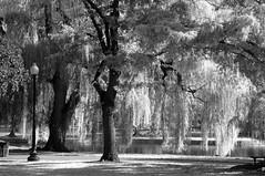 Faux Infrared #1 (kidrdaso) Tags: bw usa tree boston ma pond nikon d70 massachusetts newengland lamppost willow bostonpublicgarden 28200 fauxinfrared kimberlysink