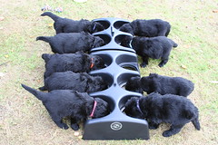 Table Manners ! (chris_rshtn) Tags: black dogs newfoundland puppies explore takeabow blueribbonwinner lorellei i500 interestingness269