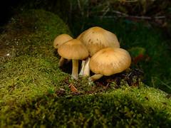 Psathyrella piluliformis (Shandchem) Tags: fungi fungus naturesfinest psathyrella diamondclassphotographer flickrdiamond betterthangood piluliformis