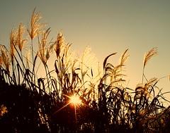 Susuki (tanakawho) Tags: autumn light sky sun nature grass glitter eulalia tanakawho anawesomeshot flickrchallengegroup flickrchallengewinner