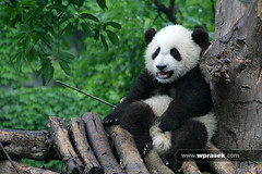 Baby panda looking slightly pissed off (wprasek) Tags: china bear baby cute animal animals cn asian asia panda looking sweet wildlife chinese adorable fluffy off chengdu beast giantpanda creatures creature mammals pissed beasts pandabear herbivore zoology slightly sichuanprovince undomesticatedanimals warrenprasek folionatureanimals greatpandaresearchinstitue xoodu wprasek wwwxooducom wwwwprasekcom