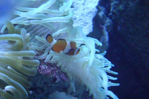 Nemo! (Clownfish) @ EPSON Shinagawa Aqua Stadium