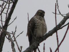 cold hawk
