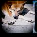 柴犬:90120006