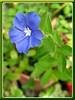 Evolvulus glomeratus (Blue Daze)