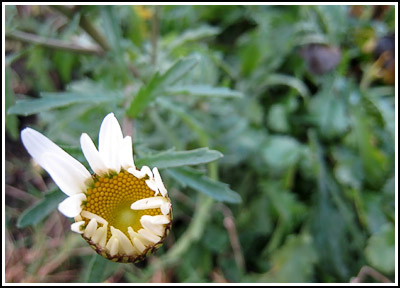 ox eye daisy copy