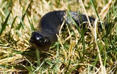 D7576482 Red bellied black snake 1 03 (Schilling 2) Tags: red fauna dangerous reptile snake australia slide scarey poison slippery schilling venomous slither redbelliedblacksnake johnschilling