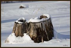 Stumped (Kadacat (Marlene)) Tags: winter snow ottawa treetrunk petrieisland naturesfinest canon30d mywinners thechallengegame challengegamewinner kadacat