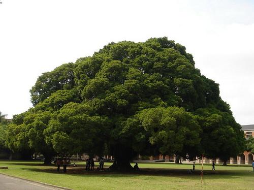 國泰大樹.jpg