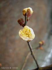 Plum blossom in Plum Garden, Wusih (Jadeite Takemoto) Tags: 2008 plumblossom  springfestival    plumgarden wusih