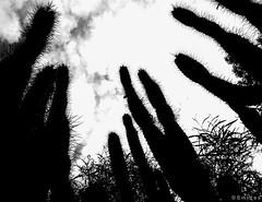 cactus_atardecer (Felipe Smides) Tags: chile flowers santiago sunset cactus blackandwhite naturaleza flores art blancoynegro nature photoshop atardecer zoo arte natural flor natura s felipe cerrosancristobal artisticexpression zoologicometropolitano mywinners abigfave aplusphoto beatifulcapture artlegacy smides juanitopi fotografiasmides funfanphotos felipesmides