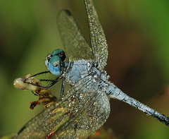 Blue dragonfly (Tanya Puntti (SLR Photography Guide)) Tags: bluedragonfly