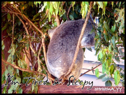 Koala Bear: Tired & Sleepy