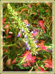 Coleus cultivar (Painted Leaf, Flame Nettle) with a flowering spike
