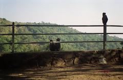 Monkeys on elephanta (Jennifer Kumar) Tags: bombay monkeys mumbai india1998 negativescanelephantaisland
