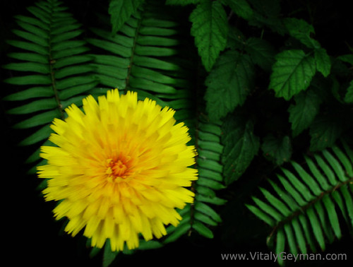 Dandelion Flower In Fern Trees