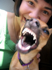 Just Yawning (Cassandra Kinaviaq Rae) Tags: dog chihuahua puppy teeth yawn vicious