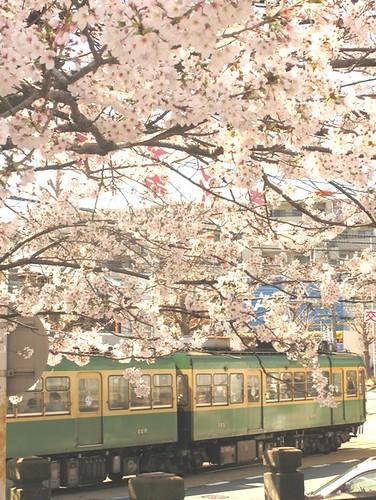 桜とテツ:江ノ電竜口寺
