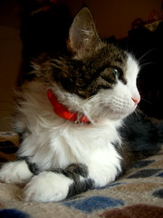 Am I beautiful (sevgi_durmaz) Tags: pet cats animal cat honey sweetie cutecat happycat funnycats funnyanimals beautifulcat furrycat lovelycat kissablekat kissablecat bestofcats