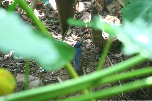 Siberian Blue Robin 藍歌鴝 - IMG_6458
