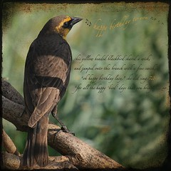 happy birthday, dear lucy ... (jude) Tags: birthday macro bird beautiful yellow happy words bravo bokeh yes card wish blackbird soon headed bighugs themoulinrouge yellowheadedblackbird xoxoxox ttv mslume artlibre 30faves30comments300views happybirthdaylucy thegardenofzen thanksforthevisit