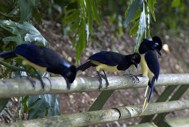 Iguazu birds