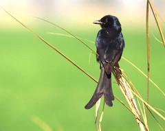 Jahan Tum - Wahan Hum (NotMicroButSoft (Fallen in Love with Ghizar, GB)) Tags: pakistan bird nature wildlife biodiversity blackdrongo avianfauna