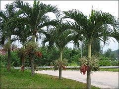 Landscaped with a lovely group of Christmas/Manila Palm (Veitchia/Adonidia merrillii)