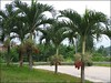 Adonidia merrillii (Manila Palm, Christmas Palm, Dwarf Royal Palm)