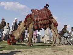 Dressed up camel