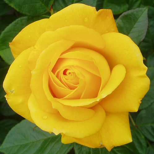 The Yellow Rose Of......