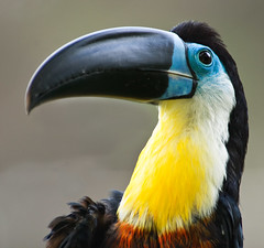 Channel-Billed Toucan (JLMphoto) Tags: blue bird yellow bill toucan beak explore barbados naturesfinest top20birdshots anawesomeshot impressedbeauty ultimateshot avianexcellence channelbilled theperfectphotographer jlmphoto vosplusbellesphotos